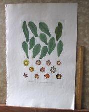 "Vintage Engraving,AURICULARUM,C.1740,WEINMANN,Botanical,20x13.5"",Mezzotint"