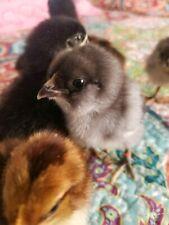 6 Fresh Amp Fertile Chicken Hatching Eggs Olive Egger