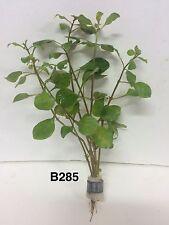Ludwigia palustris red - Bundle Plant B285