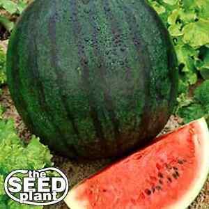 Sugar Baby Watermelon Seeds - 25 SEEDS NON-GMO