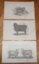 Lot of 3 Antique 1865 Prints of Merino Sheep Printed in 1865 Pauler Ewe & Ram