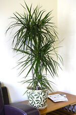 indoor plant house or office plant dracaena marginata dragon tree 80cm tall - Tall House Plants