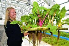 Swiss Chard 30 Rainbow Seeds Bright LightHeat Tolerant Organic Non GMO Heirloom