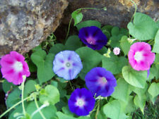 morning glory mix, red/ blue flowers, 75 Seeds! GroCo