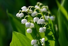 5 Lily of the Valley, May Lily, May Bells - (Convallaria majalis)