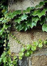 Boston Ivy Vine 15 Seeds-Parthenocissus