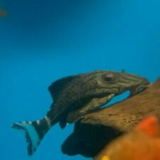 """Royal pleco 2"""" in length - live tropical fish"""