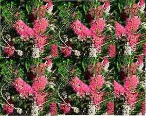 MELALEUCA WILSONII 1000 seeds Violet Honey Myrtle Australian Native shrub
