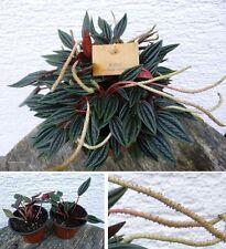 Zierpfeffer Blume Duftkraut Duftstrauch Duftstaude Pflanze für den Balkon Garten