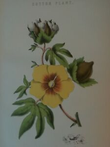 ANTIQUE PRINT C1870'S COTTON PLANT COLOUR ENGRAVING BOTANY FLOWER FLOWERS PLANTS