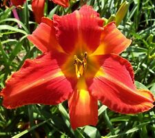 Daylily Plant This World Aflame Rebloom Perennial Df Hensley-D. Orange Flower