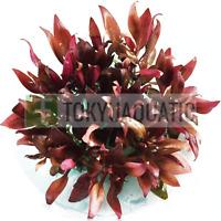 Alternanthera Reineckii Mini Tissue Culture Freshwater Live Aquarium Plants Red