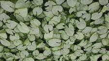 10 Plants Syngonium - Silver Pearl -  tissue culture raised healthy plan