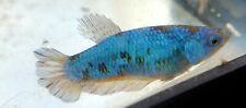 Live Betta fish young Blue Dragon Female HMPK