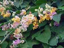 Vigna Caracalla Schneckenbohne 5 Samen Blütentraum für Balkon Ranker Kübel RAR