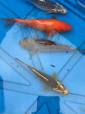 Japanese Koi - Live Fish - High Quality-  4 to 8 inches size.