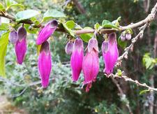 Latua pubiflora Wizards tree Purple flower shrub 50 FRESH SEEDS 2020
