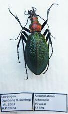 Carabus acoptolabrus schrencki hisakai (female A1) from SOUTH KOREA (Carabidae)