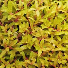 Nesaea pedicellata 'Golden' Bunch Apf Aquatic Live Aquarium Plants Buy2Get1Free*
