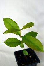 African Black Plum Syzygium cordatum rare tree seedling future bonsai