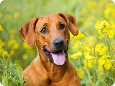 Mauspad Edition Colibri: Rhodesian Ridgeback- schönes Hunde - Porträt
