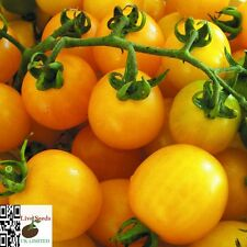 TOMATO Cherry Yellow Honeybee 20 Finest UK Crop Seeds