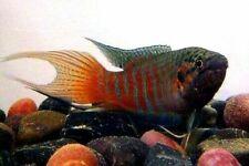 10 (ten) x Macropodus opercularis (Paradise Fish)