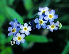 Waterforget-me -not. Large bare-rooted plant. Marginal perennial.