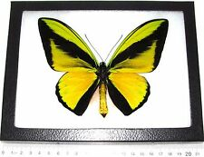 REAL FRAMED BUTTERFLY GREEN GOLD ORNITHOPTERA GOLIATH BIRDWING INDONESIA