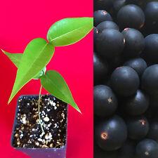 Jaboticaba Myrciaria Vexator Blue Grape Fruit Beautiful Bark Tree Seedling Plant
