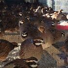 55 +5 Butler Bobwhite Quail Hatching Eggs