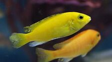 "Live Freshwater Cichlid -2"" Yellow Lab - Peaceful Freshwater Fish"