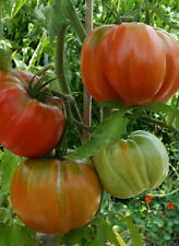 10 graines de tomate Rose Italienne Rene Paquet heirloom tomato seeds méth.bio