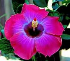 **RUM RUNNER** Rooted Tropical Hibiscus Plant**Ships In Pot**