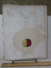 Vintage Print,GOLDEN NECTORINE,Fruit Print,Natural History,NY,1851