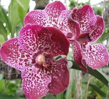 VANDA ROBERTS DELIGHT 'RED SPOT' seedling orchid plant in 100mm hanging pot