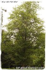 Alnus rubra 'Red Alder' [Prov: UK] 200+ SEEDS