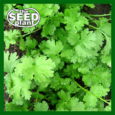 Cilantro Seeds - 300 SEEDS SAME DAY SHIPPING
