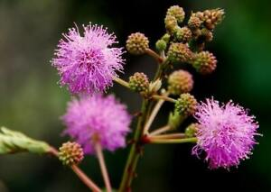 mimosa pudica -very sensitive plant- 20 seeds