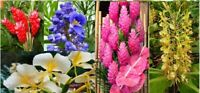 5 pk Hawaiian Tropical Ginger Plant Roots - Red, Blue, White, Yellow and Pink