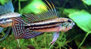 1 Pair Apistogramma Bitaeniata WC Live Tropical Fish Dwarf Cichlid