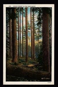 vintage Virgin Forest in the Northwest landscape postcard