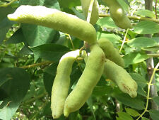 rare showy fruit shrub Dead Man's Fingers DECAISNEA INSIGNIS hardy shrub plant