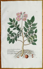 Knorr Rei Herbariae Large Colored Engraving Potato Solanum - 1789