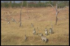 296069 Zebre e impalas A4 FOTO STAMPA