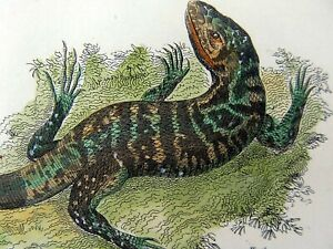 1801 Shaw - Variegated LIZARD - fine first impression in hand colour