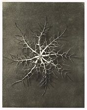 Original Vintage Botanical Karl Blossfeldt Photo Art Print 28