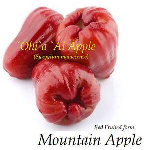 RED Mountain Apple Fruit Tree Syzygium malaccense Ohi'a Ai Apple LIVE Med Plant