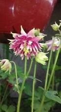 ANCOLIA aquilegia  ROSA de flor doble 10 semillas seeds