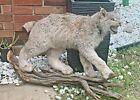 Lifesize Canadian Lynx Taxidermy Mount Bobcat Fox Stuffed Full Body Hide